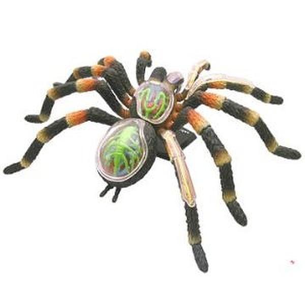 D, Tarantula Spider Anatomy Model